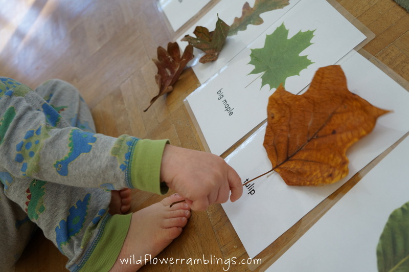 Leaf Identification Cards {free printable!} from Wildflower Ramblings