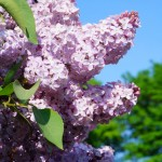lilacs in bloom {wordless wednesday}