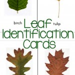 Leaf Identification Cards {free printable!}