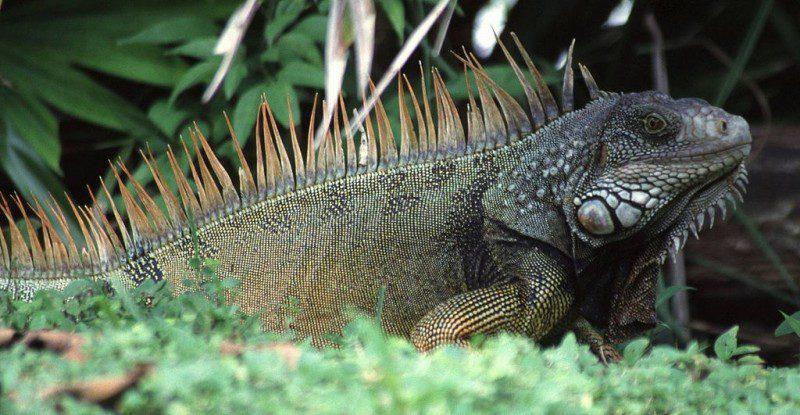 1024px-Iguana_iguana
